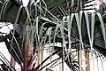 Livistona chinensis 12zz.jpg