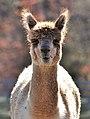 Llama at the Farm (5822418491) (2).jpg