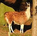 Llamas (33737525516).jpg
