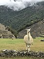 Llamas en Machu Picchu.jpg