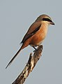 Long-tailed Shrike by Dr. Raju Kasambe DSCN7156 (19).jpg