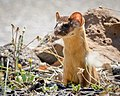 Long-tailed Weasel (29906444027).jpg