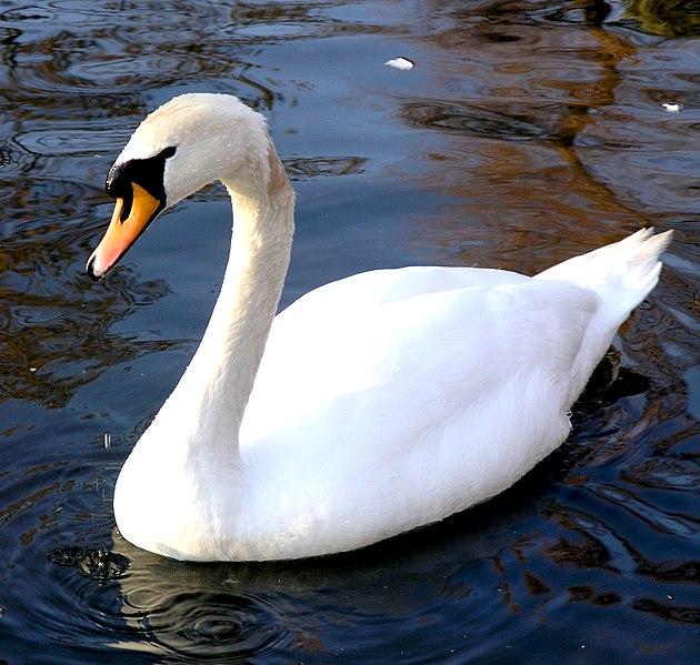 Princess Swan, Łabądź