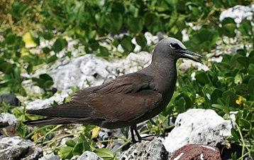 Lord Howe Island - Noddy 2.JPG