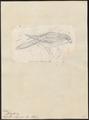 Lorius rubiginosus - 1850 - Print - Iconographia Zoologica - Special Collections University of Amsterdam - UBA01 IZ18500304.tif