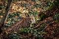 Luchs im Nationalpark Bayerischer Wald 7.jpg