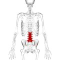 Lumbar vertebrae posterior.png