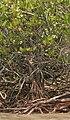 Lumnitzera racemosa, Black Mangrove W IMG 6949.jpg