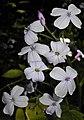 Lunaria rediviva 2015-06-01 OB 119.jpg
