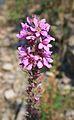 Lythrum salicaria 3 bgiu.jpg