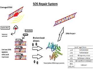 SOS response Biological process
