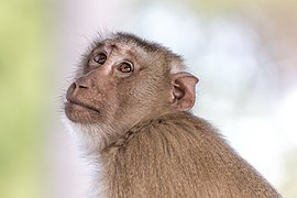 Macaca fascicularis looking up to the sky - side view and contre-jour portrait with smooth bokeh.jpg