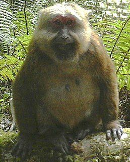 White-cheeked macaque Species of Old World monkey