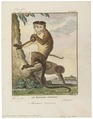 Macacus sinicus - 1700-1880 - Print - Iconographia Zoologica - Special Collections University of Amsterdam - UBA01 IZ20000019.tif
