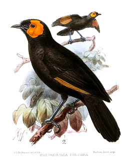 MacGregors honeyeater species of bird from New Guinea