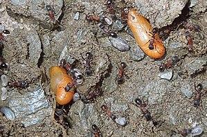 Phengaris rebeli - Image: Maculinea rebeli pupa in ant nest