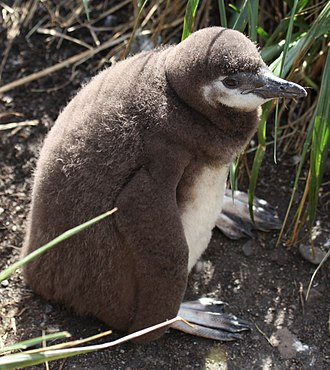 Magellanic penguin - A chick at Isla Martillo in Tierra del Fuego, Argentina