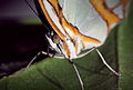 Magnified Butterfly (16399986113).jpg