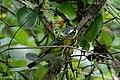 Magnolia Warlber (male) Sabine Woods TX 2018-04-22 08-29-07 (40185448900).jpg