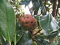 Magnolia grandiflora Little Gem 4zz.jpg