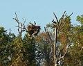 Magpie Goose on nest.jpg