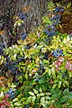 Mahonia Sloe, Easton Lodge Gardens, Little Easton, Essex, England.jpg