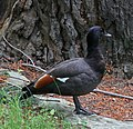 Male Paradise Shelduck (30836765304).jpg