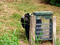 Male chimpanzee using enrichment box.jpg
