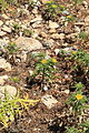 Malta - Ghajnsielem - Comino - Asteriscus aquaticus 05 ies.jpg