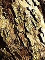 Malus dasyphylla sl27.jpg