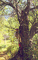 Malus sieversii tree.jpg