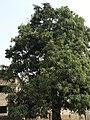 Mango Tree .jpg
