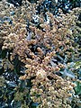 Mango flowers 2.jpg