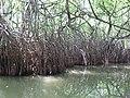 Mangroves (7567741674).jpg
