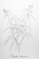Manihot tripartita laciniosa Pohl48.png