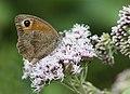 Maniola jurtina - Meadow brown, Giresun 2018-08-20 6.jpg