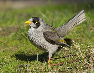 Noisy miner - A grey bird with a distinctive yellow patch behind the eye, yellow-orange bill and feet and a yellow-olive patch on the wing