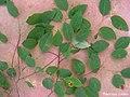 Maprounea guianensis, pinga-orvalho - Flickr - Tarciso Leão (10).jpg