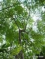 Maprounea guianensis, pinga-orvalho - Flickr - Tarciso Leão (7).jpg