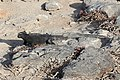 Marine iguana 02.jpg