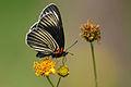 Mariposa parche negra, White-rayed Patch, Chlosyne ehrenbergii (15567212599).jpg