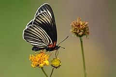 240px mariposa parche negra, white rayed patch, chlosyne ehrenbergii (15567212599)