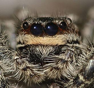 Jumping spider - Marpissa muscosa, female