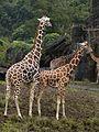 Mating giraffes.jpg