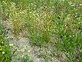 Matricaria chamomilla sl15.jpg