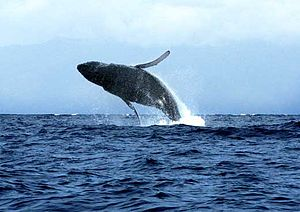 English: The Beautiful Humpback Whales off the...