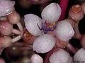 Medinilla sp. (Melastomataceae) (5813795292).jpg