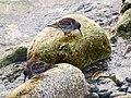 Meerstrandläufer (2) (34895739641).jpg