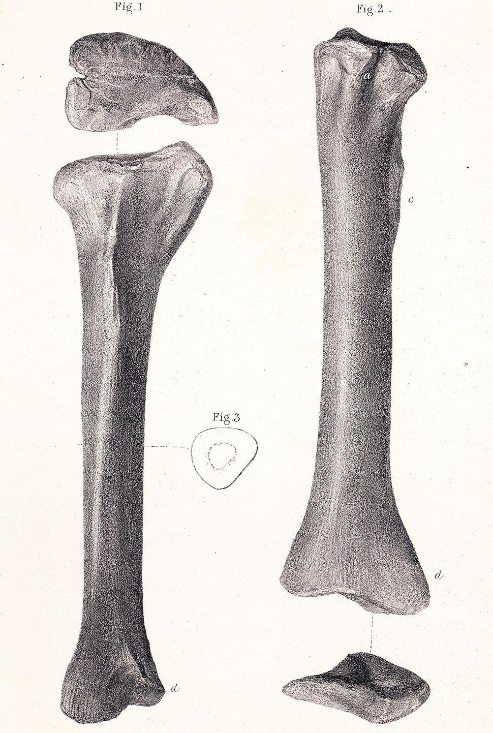 Megalosaurus tibia