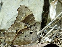 Melanitis leda dry season form at Kadavoor.jpg